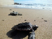 Piccola tartaruga marina