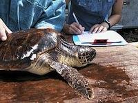 Ricovero Tartaruga WWF Policoro