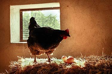 Fattoria Uova fresche e gallina azienda agrituristica Il Pago